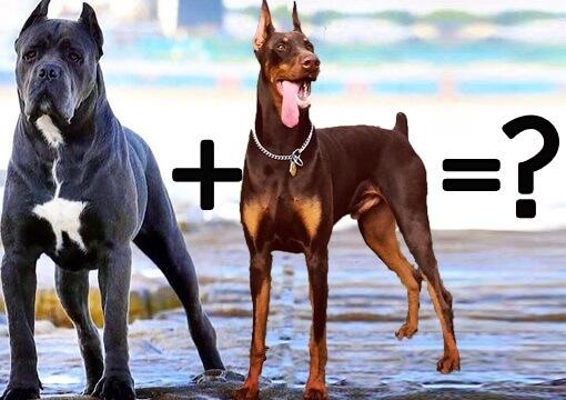 cane corso cross breeds